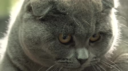british cat : Scottish Fold Cat Closeup. 4k Ultra HD Stock Footage