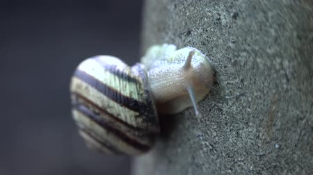 növelni : Slow Moving  of Funny Snail on the Gray Background.
