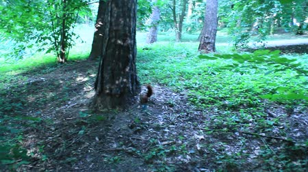 elusive : two squirrels pursuing each other on the tree Stock Footage