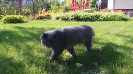perzsa : nice Persian cat going for a walk on the green grass Stock mozgókép