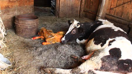 recentemente : cow licking clean its just newborn red calf