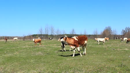 otlak : cows on the pasture