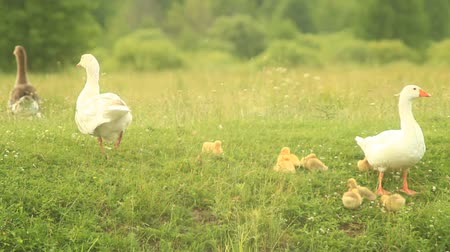 waddling : young goslings with paterns on the grass