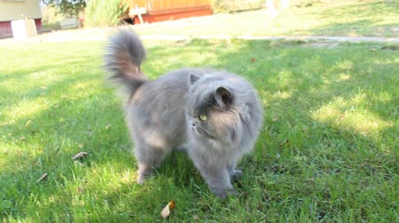 perzsa : Persian cat going for a walk on the green grass
