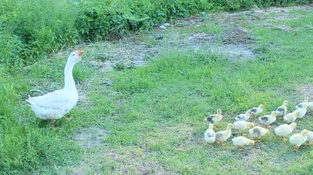 waddling : white goose with its goslings in the poultry-yard