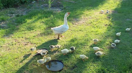 waddling : goslings with their goose in the poultry-yard in the village