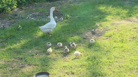 waddling : goose with goslings on the grass in the village