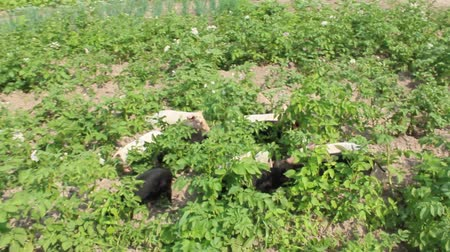 barnyard : pigs dig in the garden with potatoes in the village
