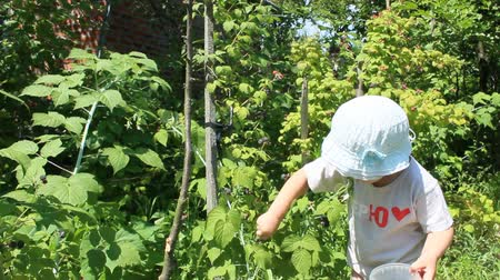 vejetaryen : baby gathers raspberries in the garden