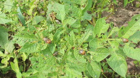 wrecker : larvae of colorado beetles on the leaves of a potato