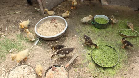 pelyhes : ducklings on the poultry of the farm