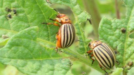 wrecker : colorado beetles sitting on the leaves of potatoes