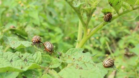 wrecker : colorado beetles gobble up the leaves of potatoes