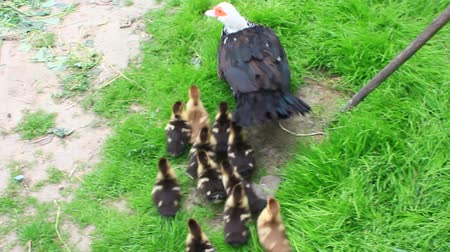 waddling : Muscovy duck hen with ducklings go in the poultry Stock Footage