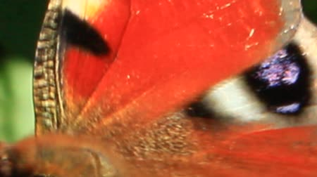 inachis io : Macro of butterfly collecting nectar on the zinnia