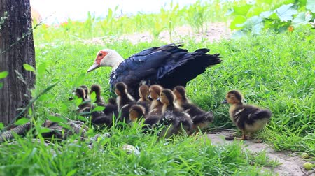 waddling : Muscovy duck hen with ducklings go on the grass in the poultry Stock Footage