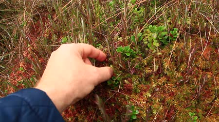 collected : berry-picker gathers red berries of cowberry in the forest
