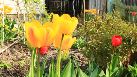 botanik : Yellow and red tulips on flower bed in April. Red and yellow tulips planted in garden. Springtime garden. Colorful tulips in flower bed. Beautiful spring flower tulips in garden Stok Video