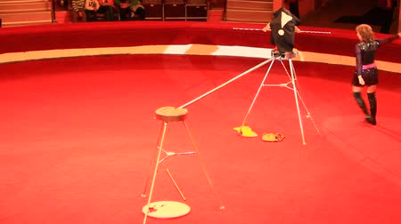 Trained monkey walking on rope with balance beam in circus. Amusing monkey performing in Comel circus with tamer