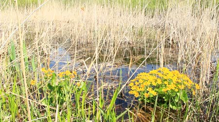 marigold flower : Caltha palustris growing in swamp. Spring flowers. Marsh Marigold flowers. Yellow flowers of Marsh Marigold. Flowering gold color plants in early spring by river during flooding