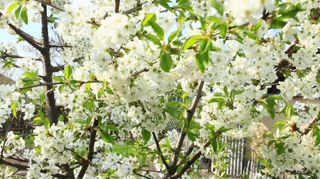 Cherry blossoming in spring. Branch of blossoming cherry in spring. White flowers of cherry tree blooming in garden. Spring garden