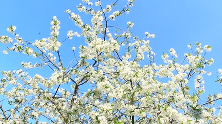 Blossoming cherry tree on blue sky background. Cherry blossoming in spring. Branch of blossoming cherry in spring. White flowers of cherry tree blooming in garden. Spring garden Stok Video
