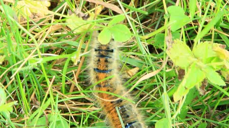Macrothylacia rubi caterpillar with brown ribbons in green grass. Insect hiding in grass