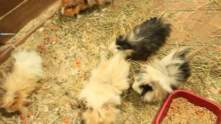 Beautiful multicolored guinea-pigs in zoo. Guinea pig friends. Domestic pets