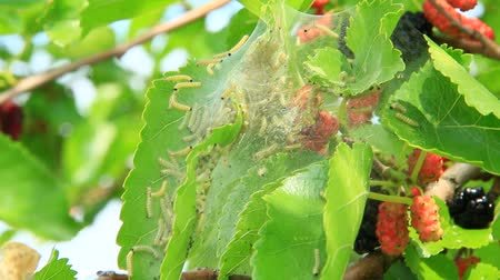 Caterpillars eat leaves of mulberry. Branch with ripe mulberry and Bombyx mori. Insects pests eating up green leaves of mulberry tree. Silkworms eating leaves Stok Video