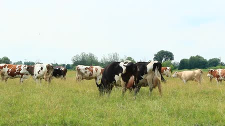 cow milk : Cows on pasture in field. Domestic animals graze on meadow Stock Footage