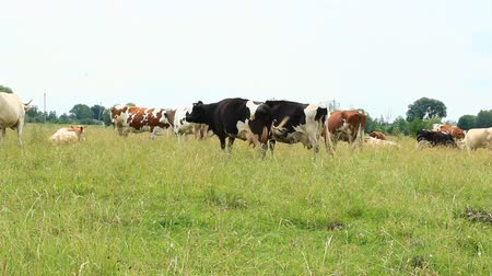 Cows graze on green farm pasture in summer. Cows on pasture in field. Domestic animals graze on meadow. Cows on farm pasture in summer field Stok Video