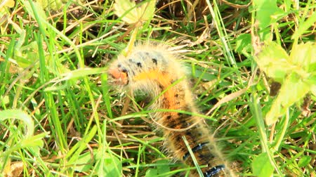 Macrothylacia rubi caterpillar with brown ribbons in green grass