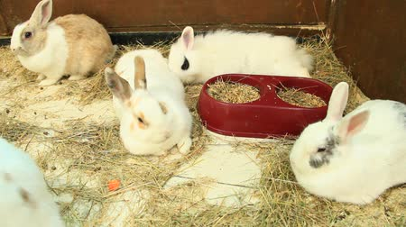 Brood of little young amusing rabbits in zoo. White rabits. Group of domestic rodents Stok Video