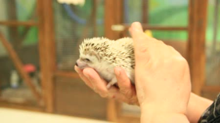 Small hedgehog in hands. Small hedgehog with white hair in his hands. Hedgehog in contact zoo