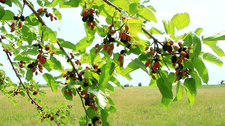 Branch of ripe mulberry. Berries on tree. Ripe mulberry hanging on tree. Crop of mulberry Stok Video