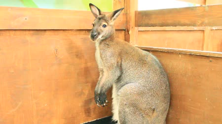 Känguru im Zoo. Wallaby im Zoo. Beuteltier Wildes Tier