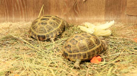 Small turtles living in zoo. Slow animals. Turtle breeding Stok Video