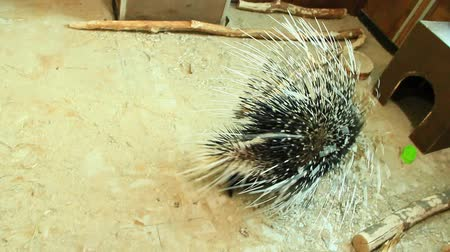 spiny : Porcupine covered bysharp spines. Rodent porcupine in zoo. Portrait of cute porcupine Stock Footage