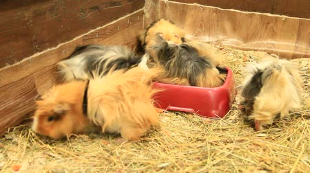 gine : Beautiful multicolored guinea-pigs in zoo. Guinea pig friends. Domestic pets. Amusing animals Stok Video