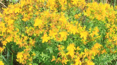 homeopathic : Yellow beautiful flowers of medical St.-Johns wort blossoming in field. Medicinal flowers of St. Johns wort with foliage. Field flowers. Hypericum perforatum or St johns wort