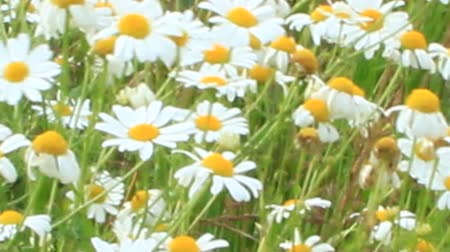 rumianek : Flowers of white beautiful chamomiles blossoming in field. Summer chamomiles. Herbal flowers. Blooming chamomiles closeup. Beautiful summer field