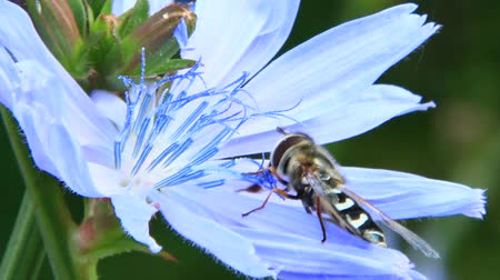 hoverfly : Closeup of Hoverfly on purple Cichorium blooming flower. Common hoverfly. Syrphus ribesii. Macro of little fly hoverfly collecting nectar on delicate flower of Cichorium