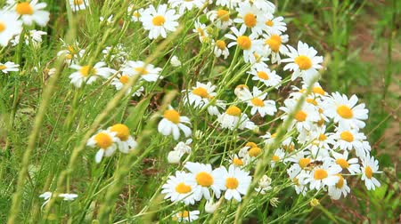 esverdeado : White chamomiles in bouquet blossom in summer field. Beautiful bouquet with white chamomiles. Chamomile flowers. White field flowers in summer close-up