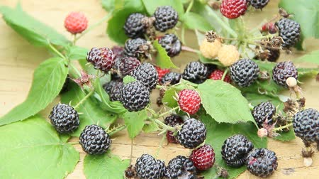 meyva : Crop of black raspberry berries. Ripe Rubus occidentalis in bucket. Bucket full of fresh and sweet black raspberries. Close-up of ripe raspberry. Harvest of Rubus occidentalis