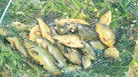 fish eye : Caught tench and crucians. Successful fishing. Rich catch of fishes. Lucky fishing. Caught fishes after lucky fishing. Caught fish in crucian crucian mesh. Poaching