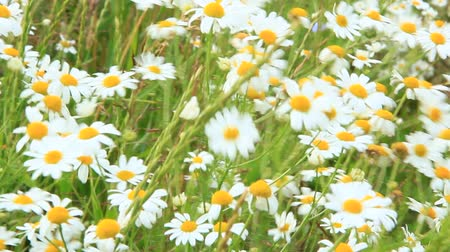 esverdeado : White chamomiles blossom in summer field. Beautiful white chamomiles. Chamomile flowers. White field flowers in summer closeup