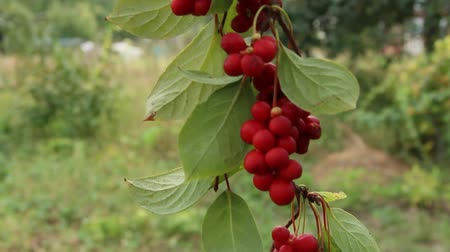 magnólia növény : Branches of red schisandra. Clusters of ripe schizandra. Crop of useful plant. Red schizandra hang in row on green branch. Schizandra chinensis plant with fruits on branch