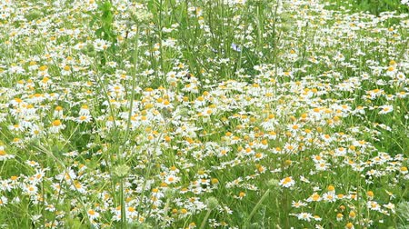 esverdeado : White chamomiles blossom in summer field. Beautiful white chamomiles. Chamomile flowers. White field flowers in summer closeup. Summer scenery. Life in field Stock Footage