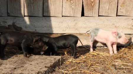 barnyard : Piglets playing in farm yard. Funny pigs. Young baby piglets play in yard