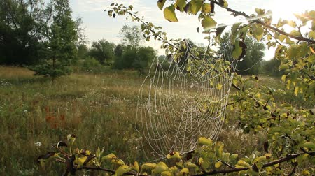 pókháló : Plant is wrapped in wet web at dawn. Dew on cobweb. Summer flowers in web. House of spiders living in summer field among grasses. Water droplets on cobweb